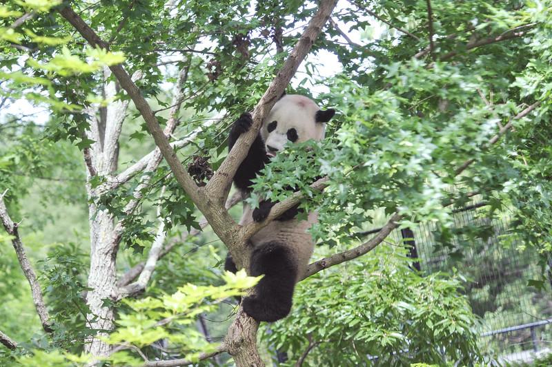 Bao Bao climbing in a tree