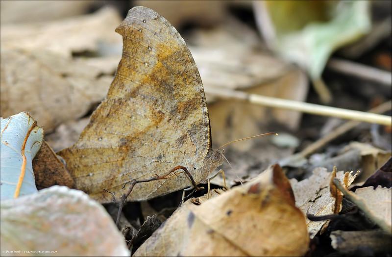 Common Evening Brown ( Dry Season Form )
