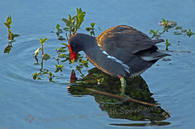 Common Gallinule ~ This gallinule was photographed on the Anhinga Trail in the Everglades.  I liked the way his reflection reveals the plant life under the water.