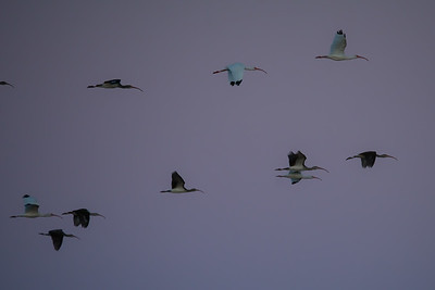 Birds - White Ibis