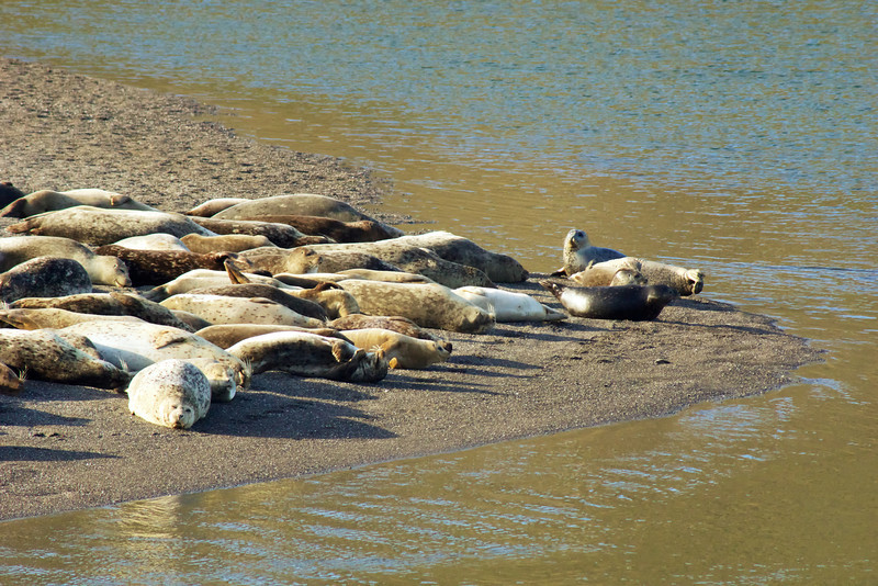 Seals basking along the edge of the Russian River during mating season
