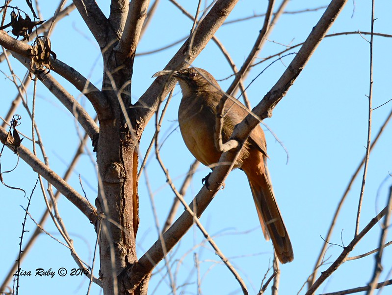 California Thrasher - 1/2/2015 - Lake Hodges, southeast trail (south of footbridge)