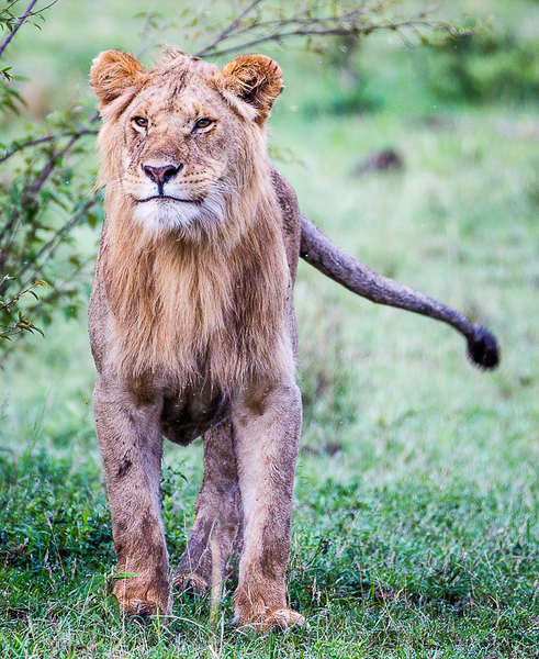 Young Male Lion_John Hoffman.jpg