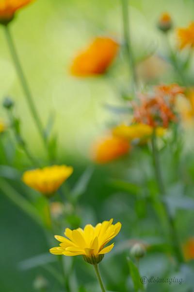 IMG_5793 yellow wildflower.jpg
