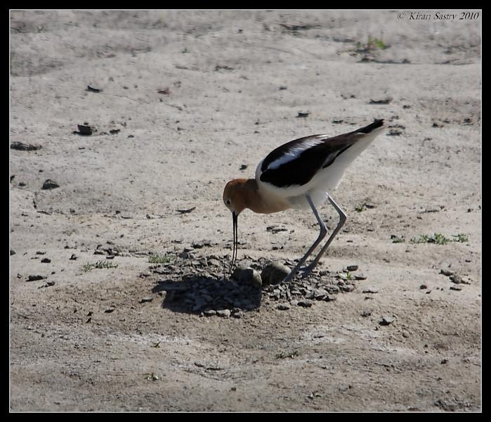 American Avocet on the nest, San Joaquin Marsh, Orange County, Los Angeles, California, May 2010