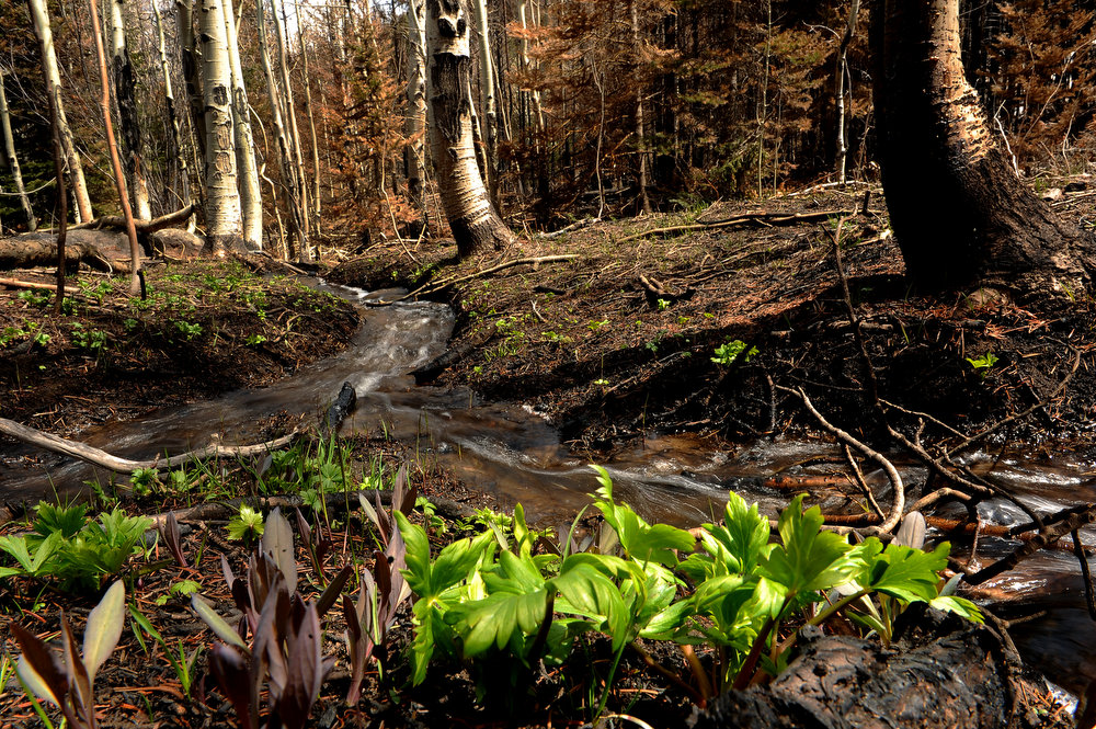 . Some green plants begin to emerge in parts of the burned area of the Fern Lake fire along Cub Trail on May 13, 2013 in Rocky Mountain National Park.  (Photo by Helen H. Richardson/The Denver Post)