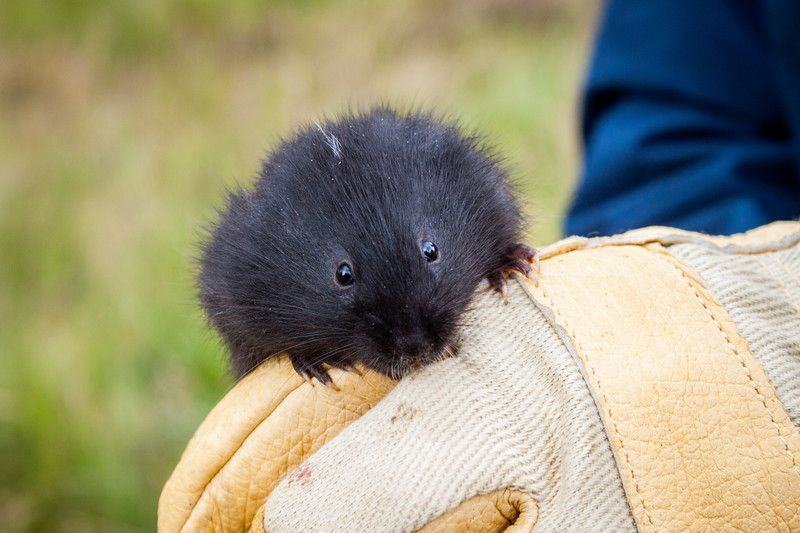 #CuteoftheDay Which is cuter - the black voles of Scotland or the Brown ones of England? I visited both camps to find out... (I call this black vole Stripe after the streak of white on the top of his head.)