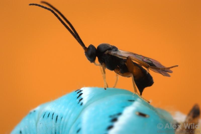 Cotesia congregata (Braconidae) ovipositing into a hornworm.