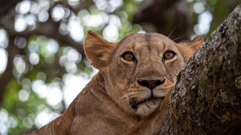 Tanzania-Tarangire-National-Park-Safari-Lion-15.jpg