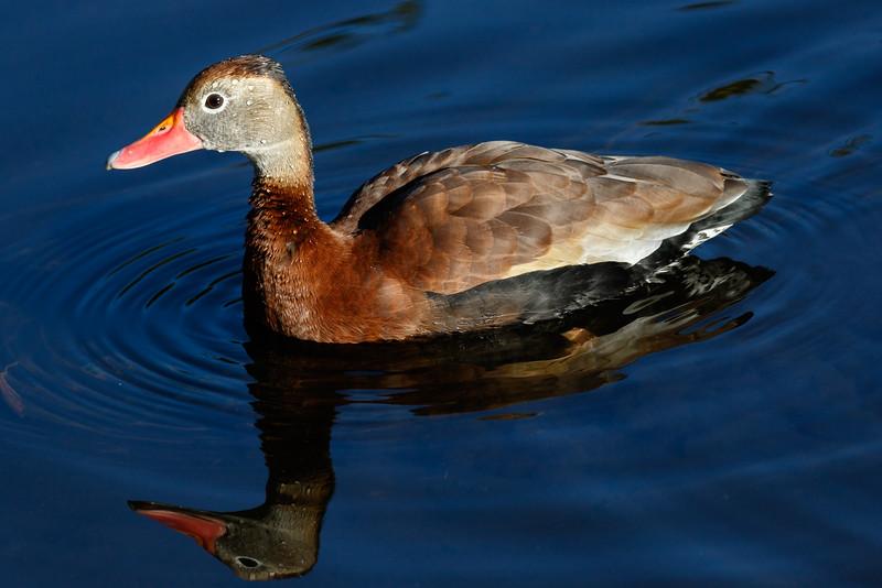 Black Belly Whistling Duck-6829.jpg