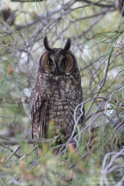 Long-eared Owl - Mercy Hot Springs, CA, USA
