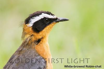 White-browed Robin-chat, Kenya