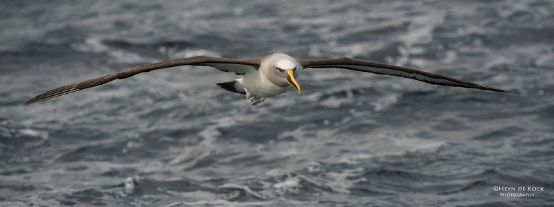 Buller's Albatross, Wollongong Pelagic, NSW, Jul 2014.jpg