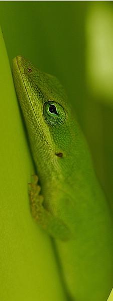 Green Lizard 6x16Vertical.jpg