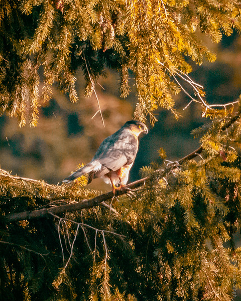 Hawk in the trees