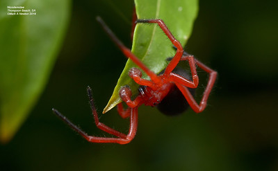 Nicodamidae (Red and Black Spiders)