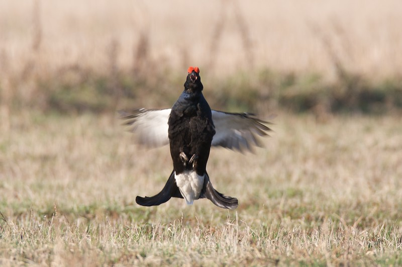 Black Grouse (male) in jumping from side / Rubenis lēcienā