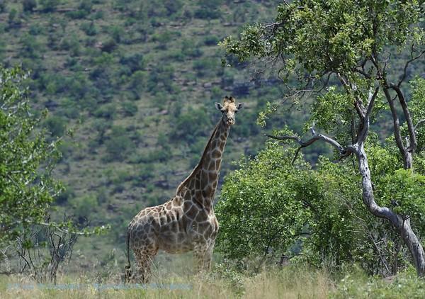 Giraf; Girafe; Giraffe; Giraffa camelopardalis