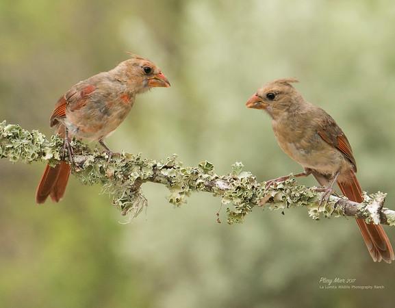Cardinalsx2LL.jpg