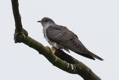 Cuckoos - Gøge