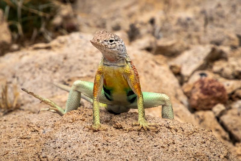 earless lizard 0711-.jpg