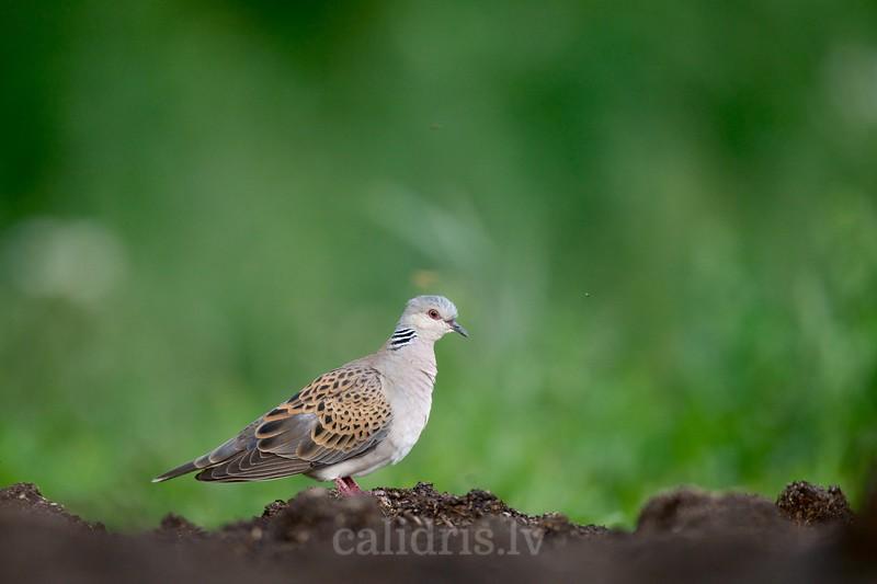 European Turtle Dove / Parastā ūbele