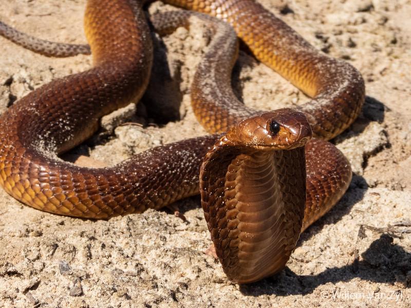 20191005 Cape Cobra (Naja nivea) from Philadelphia, Western Cape