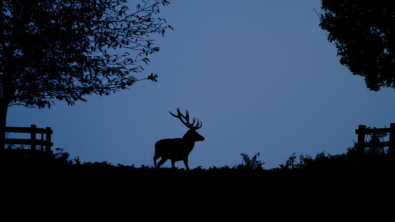 Red Deer Stag at First Light