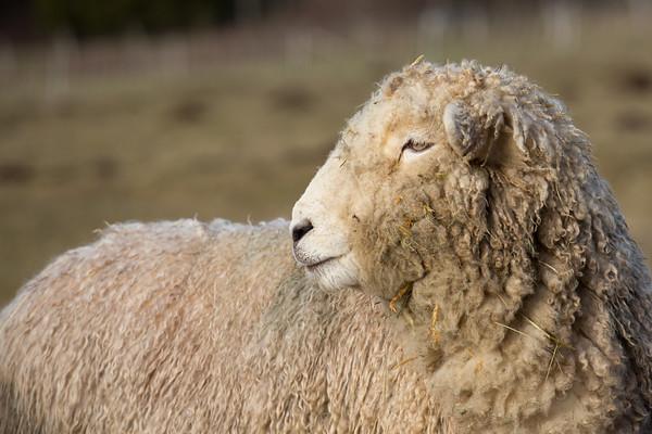 Wooly Romney sheep posing