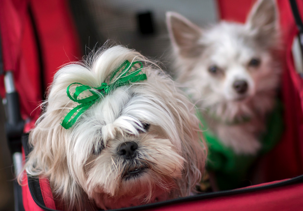 . Dressed in ribbons and bows two dogs, Laney, left, and Lola, right, wait for the St. Patrick\'s Day parade to start with their owner Nancy Montesinos, Tuesday, March 17, 2015, in Savannah, Ga. The St. Patrick\'s Day tradition in Savannah dates back to the first parade held on March 17, 1824. (AP Photo/Stephen B. Morton)