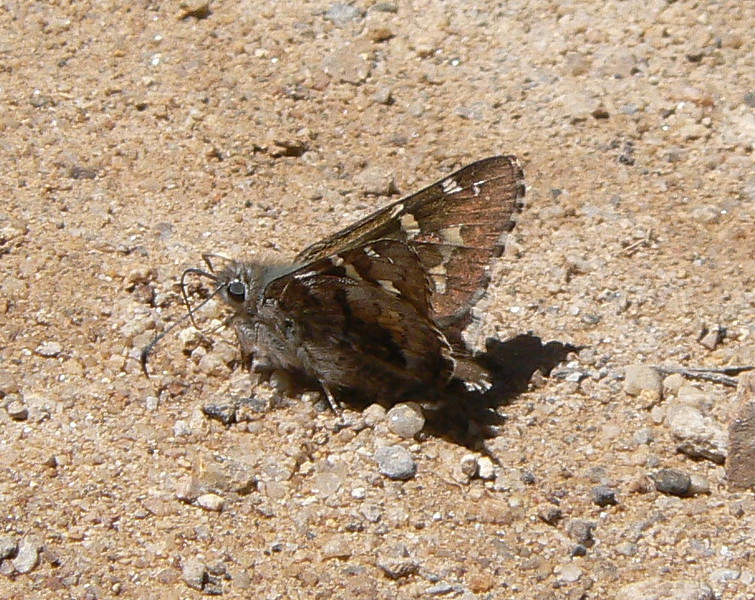 DMSh-tSk979 April 15, 2007  11:51 a.m.  P1000979 Short-tailed Skipper, Zestusa dorus S. E. Az.