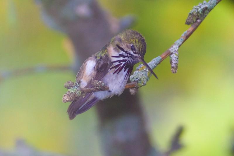 Calliope Hummingbird male Park Point Duluth MN IMG_1893.jpg
