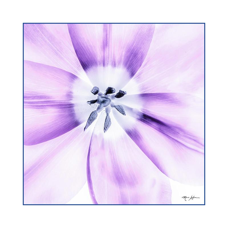 Purple Tulip Off Center.jpg