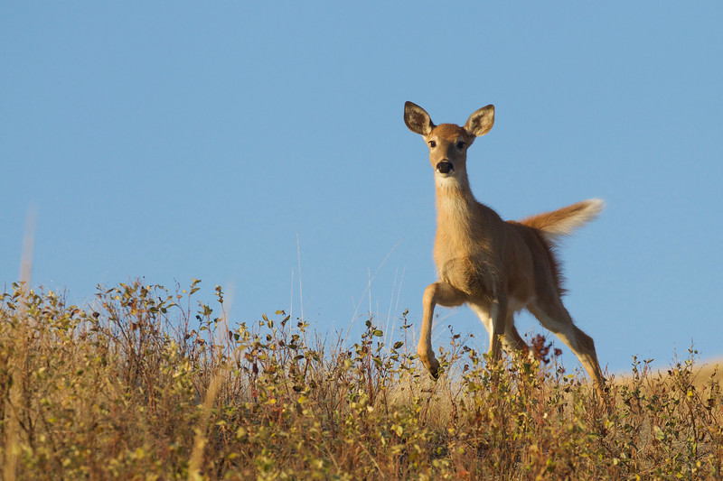 Whitetail Deer fawn gambols about in early morning light