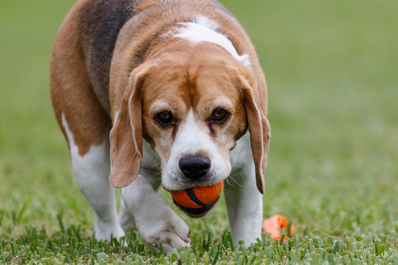 """'m in the yard tonight playing ball with Brody when a relatively new neighbor walks by and says; """"I've never seen a beagle fetch before'""""  And at that moment a reality I've never thought about came to light!  """"He's not playing fetch, he's playing chase.""""  Beagles were built to chase things like rabbits.  So, Brody is very inclined to chase the ball.  The only reason he brings it back is that he knows, it's the only way I can throw it again and therefore the only way he can chase it again, which is really all he wants to do."""
