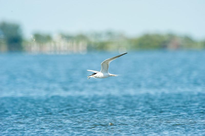 Fort Desoto Birds 2-33.jpg