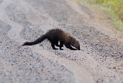 Weasels—Ermine, Pine Marten, Fisher