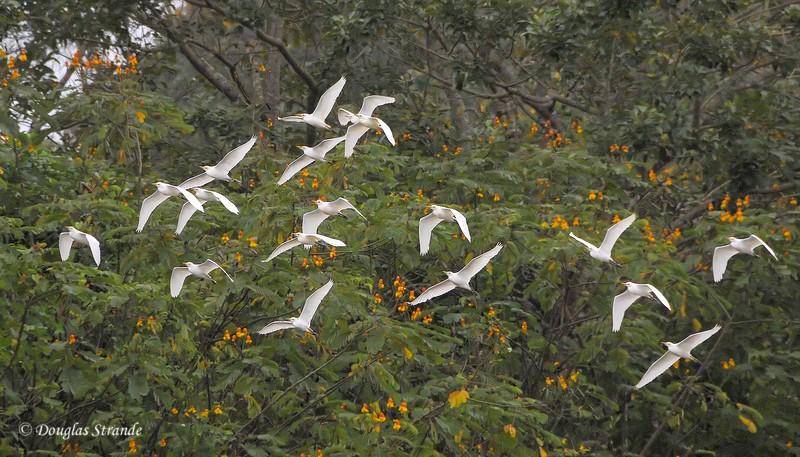 Cano Negro: Egrets in flight