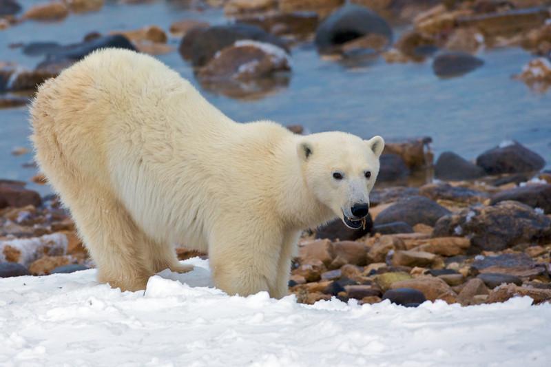 polar bear  5944.jpg