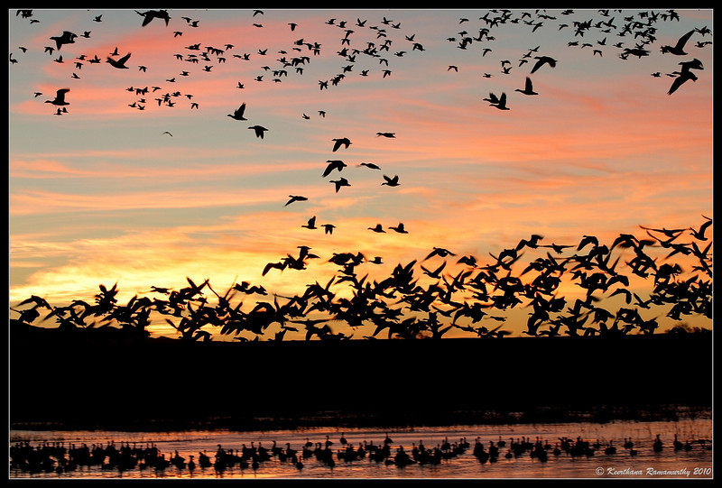 Snow Geese early morning lift off, Bosque Del Apache, Socorro, New Mexico, November 2010