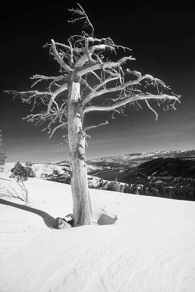 Narly tree on Donner Summit. Backcountry Skiing.