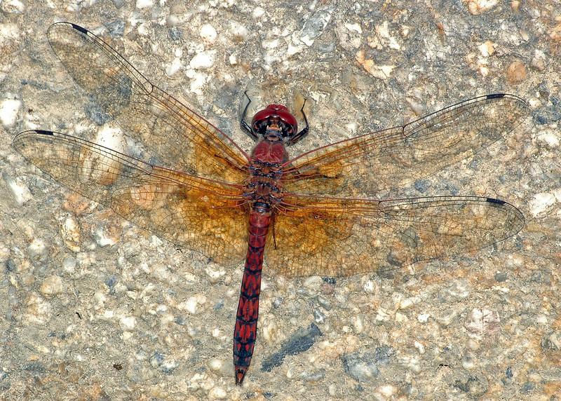 Paltothemis lineatipes (Red Rock Skimmer), MX