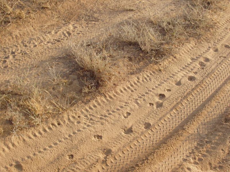 Following Leopard tracks