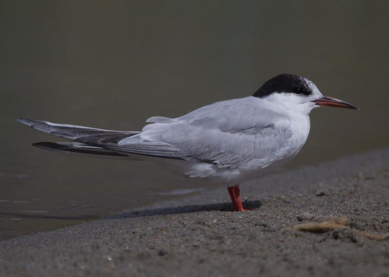 Common Tern Klondike Lake 2015 09 29-3.CR2