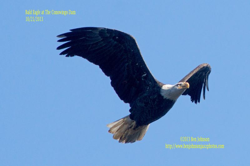 Bald Eagles Conowingo Dam October 2013