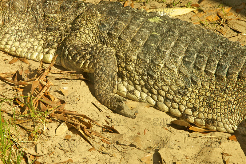 Johnston's Crocodile