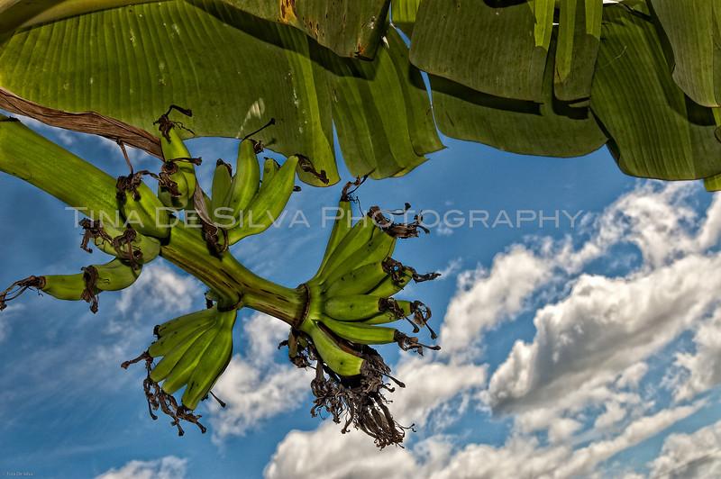 Banana Bunch2