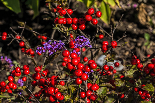 Fall berries on shrubs, vines, flowers