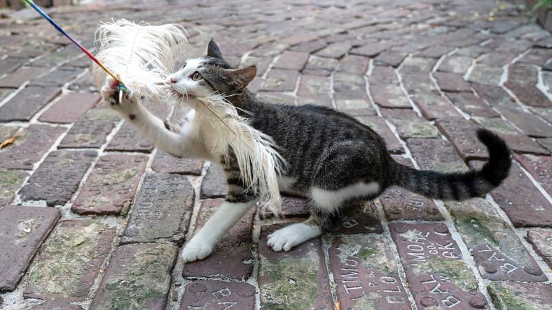 Florida-Keys-Key-West-Hemingway-Home-Cats-15.jpg