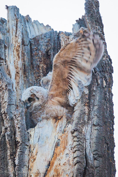 A great horned owlet stretching it's wings.